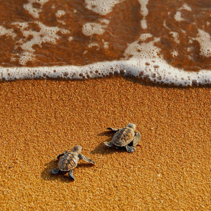 "Who will win?  ""Young hawksbill's turtles race to the sea. Shot taken in Pantai Pengkalan Balak turtle sanctuary, Melaka, Malaysia.""  by Yaman Ibrahim."