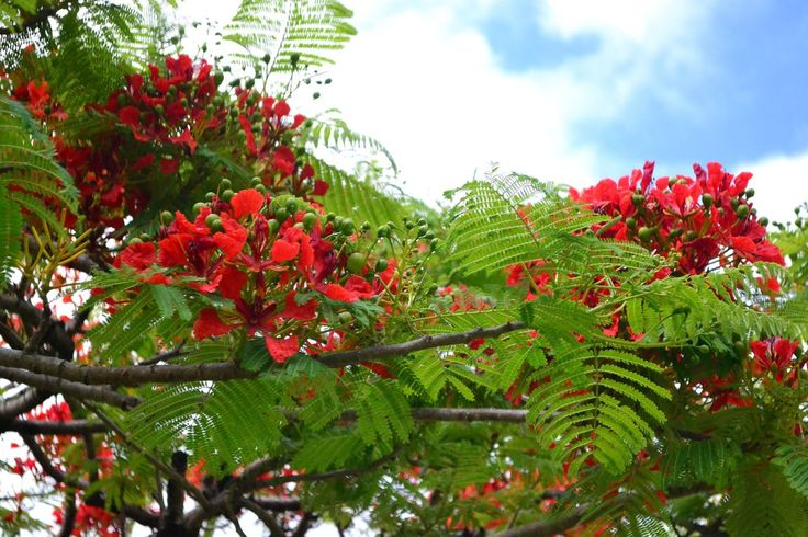 Growth Nature Freshness Red Beauty In Nature Tree Fruit Green Color Low Angle View Close-up Leaf Outdoors No People Sky Day Flower Delonix Regia Flowers Red Nofilter#noedit Blue Sky Hawaii Green Color Low Angle View Tree