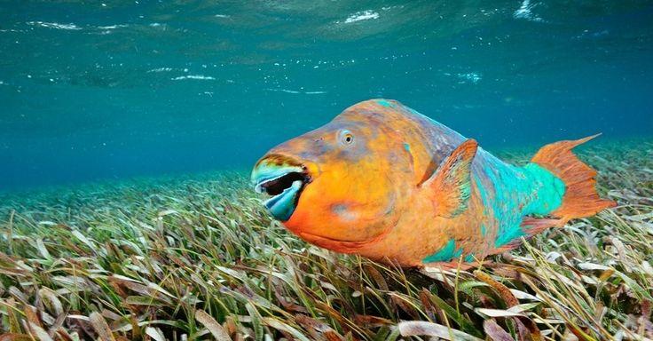 Um peixe-papagaio nada pela reserva marinha de Hol Chan, Belize. A espécie scarus guacamaia, o maior peixe herbívoro do Atlântico, passa por todo recife mesoamericano durante a vida. Enquanto jovem, procura proteção entre as raízes do mangue. Quando adulto, faz do recife sua casa, eventualmente de olho nos velhos predadores