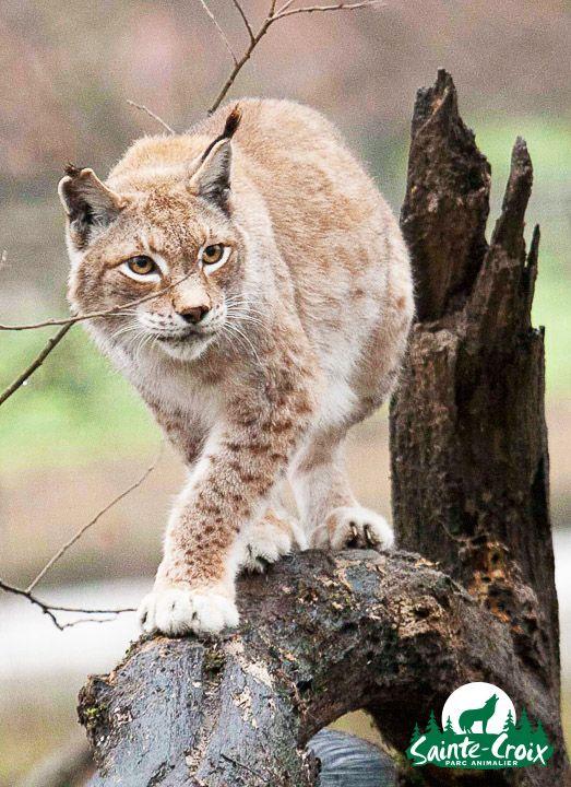 claire lynx bor al parc de sainte croix wild life. Black Bedroom Furniture Sets. Home Design Ideas