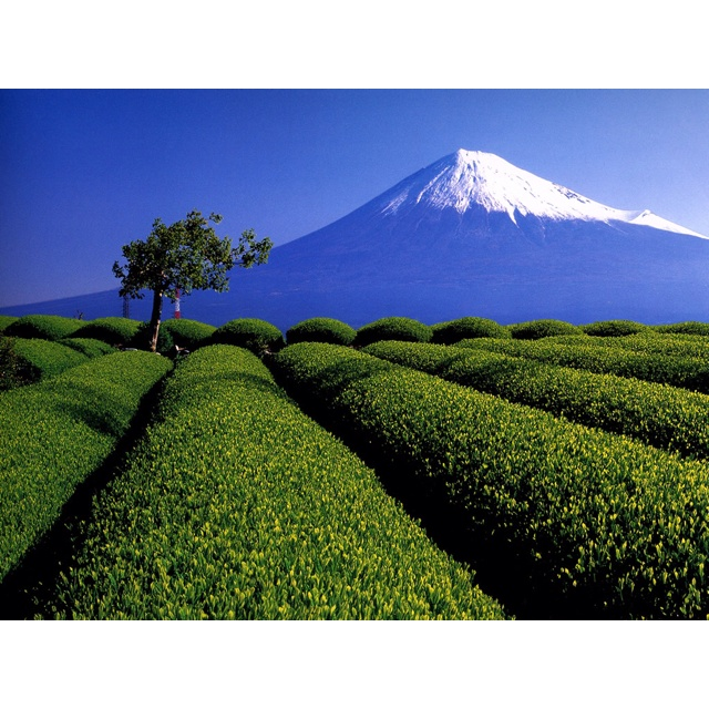 mt.fuji and tea fields
