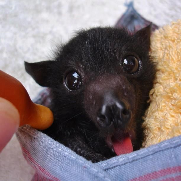 24 best Cute Bats images on Pinterest | Baby bats, Animal ...