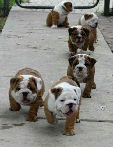 I want one! English Bulldogs