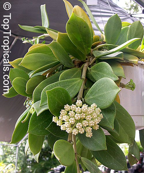 Hoya House Plants For Sale | not overpowering citrus scent we have this plant for sale