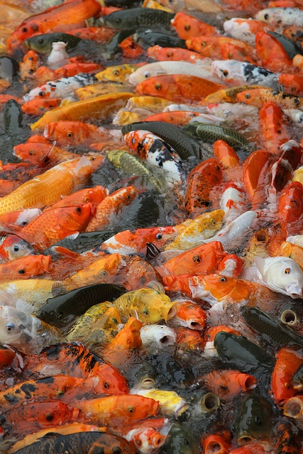 Japanese carps, Koi 鯉. This is Heavenly to me!!!...