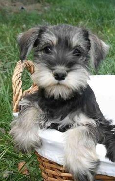 Tiernas imagenes de perros de raza schnauzer miniatura