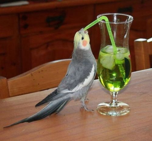 Cockatiel with a Cocktail!