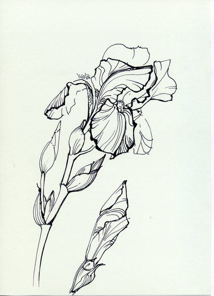 Line Drawing Of Iris Flower : Images about line drawings of irises on pinterest