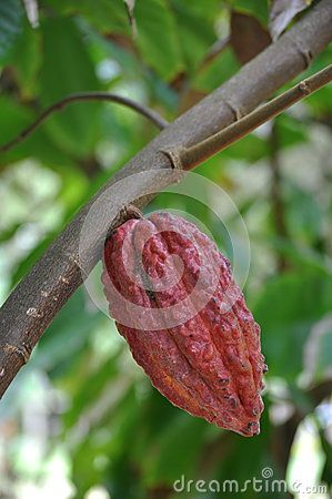 Cocoa fruit in the tree, Mauritius.