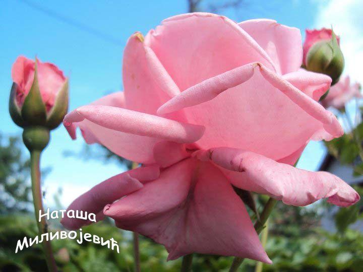 Roza penjacica