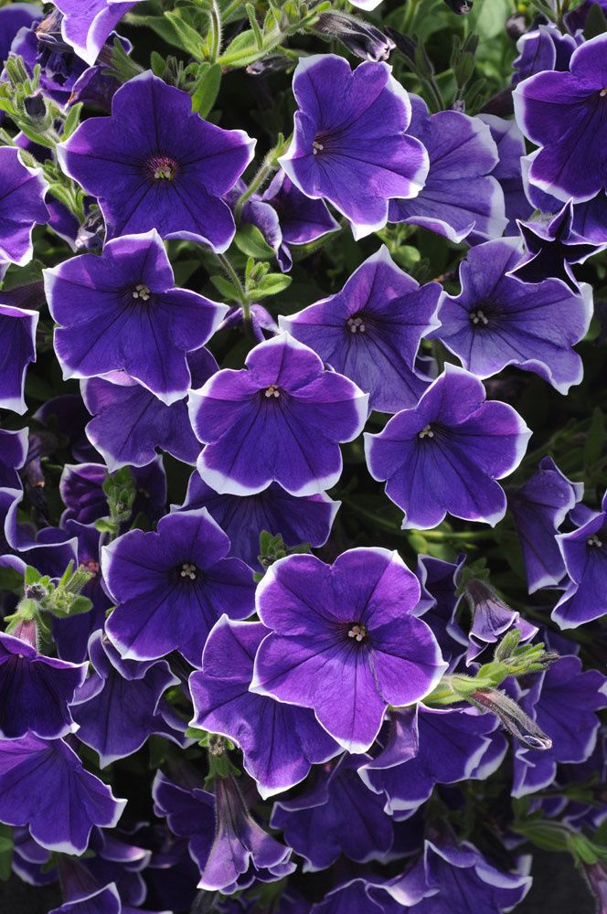 Rhythm and Blues petunia is looking lovely near our entrance.