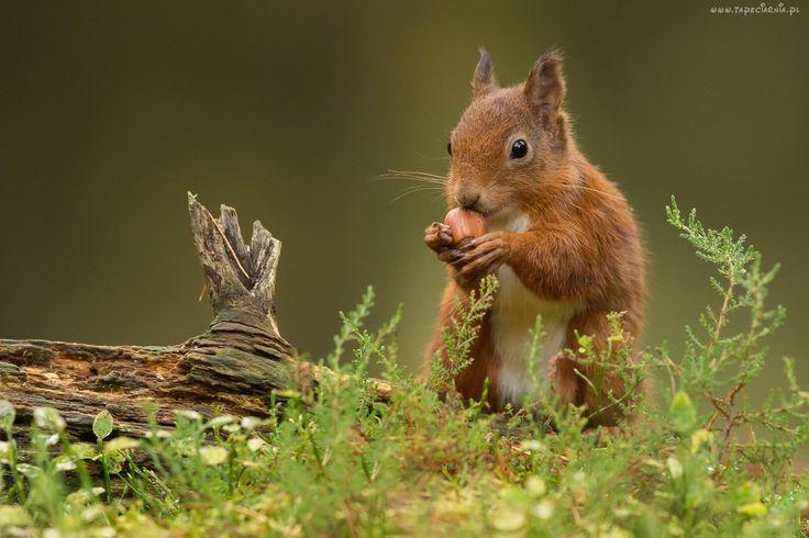 Wiewiórka, Suchy, Konar, Drzewa