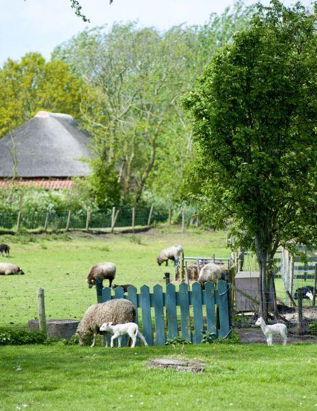 Texel schapen lammeren