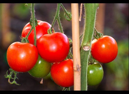 Spring Gardening: Tomatoes, Celery and 8 Other Foods You Can Regrow From Scraps
