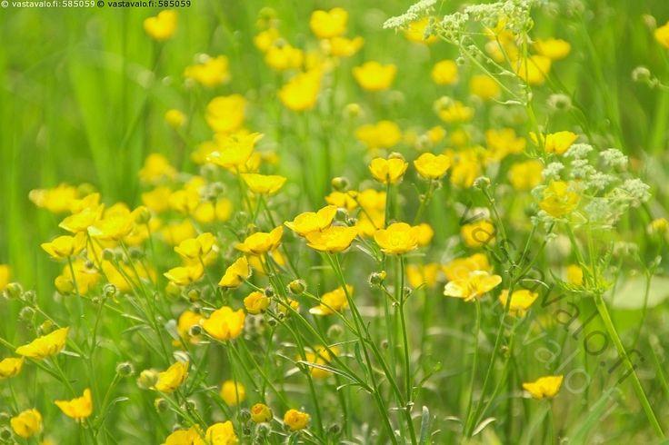 Niittyleinikkipelto - niittyleinikki Ranunculus acris niittyleinikit keltainen keltaiset kukka kukat leinikki leinikit niitty kukkaniitty kukkia kasvi kasvit keltakukkainen keltakukkaiset leinikkikasvi leinikkikasvit pelto leinikkipelto kukkapelto kukkaketo luonnonvarainen luonnonvaraiset monivuotinen