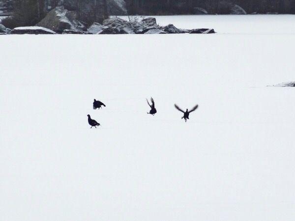 Teeret soitimella / Black grouse