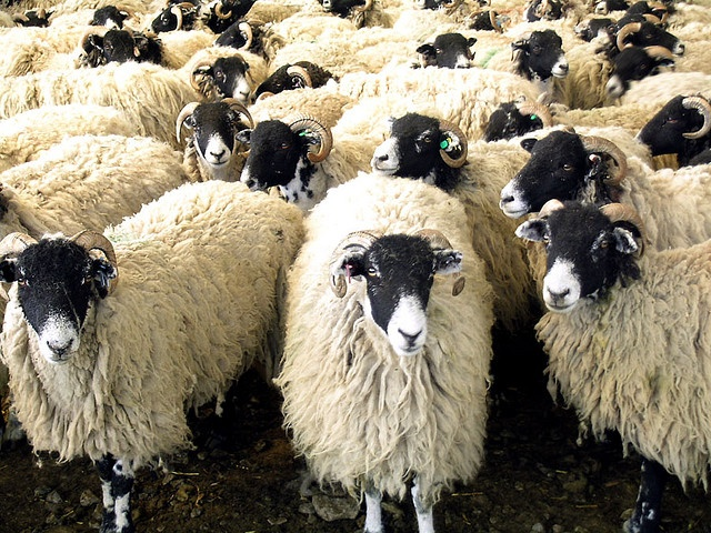 Swaledale Sheep:  They look like the opposite of Herdwicks, with light fleece and black heads.  Another hardy northern breed from England