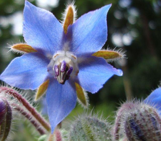 Borragine: un fiore in cucina http://www.foodconfidential.it/borragine-un-fiore-in-cucina/