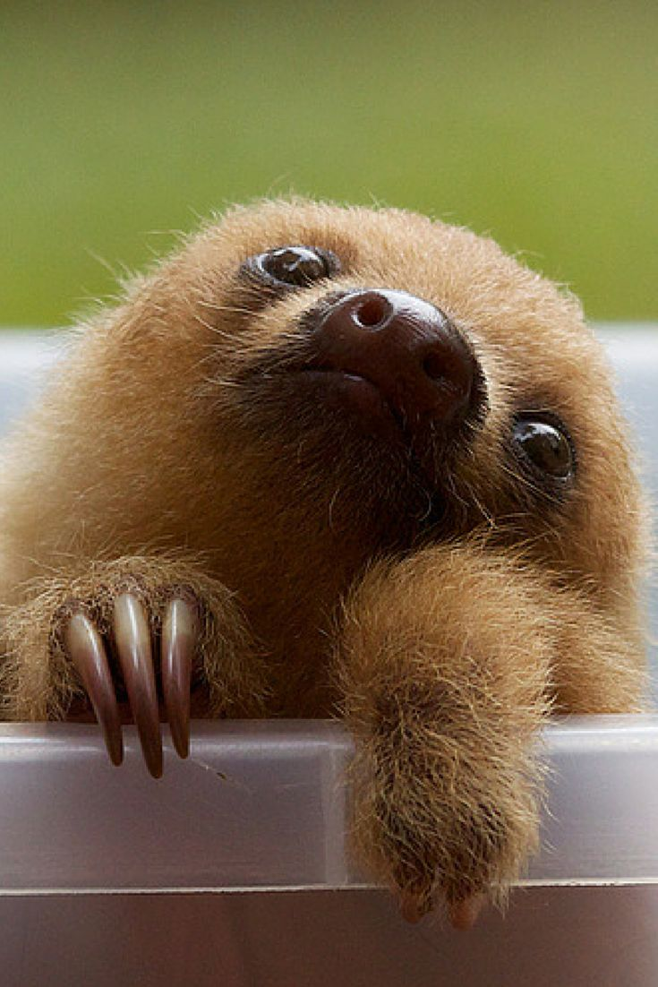 mammal and sloths essay Sloth fact sheet sloths are medium-sized south american mammals belonging to the families megalonychidae and bradypodidae, part of the order pilosa.