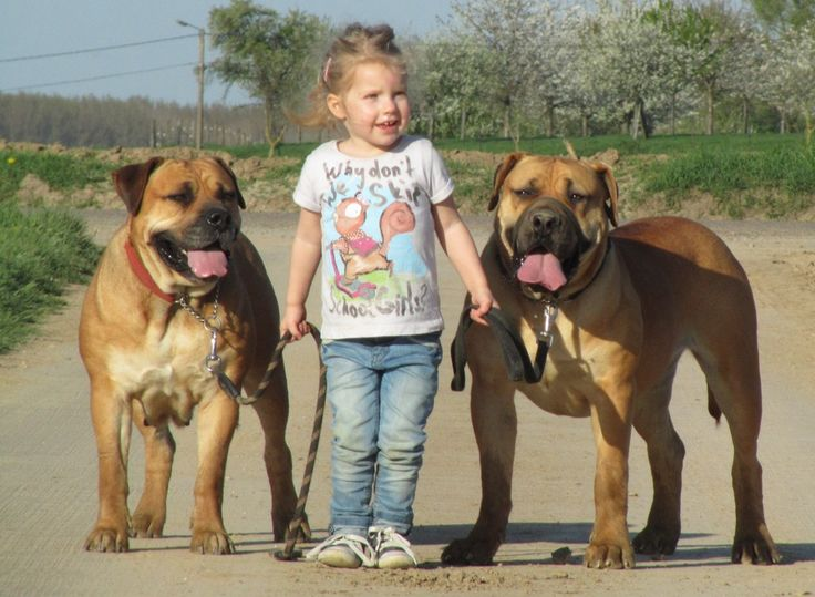 Boerboel dogs, never heard of this breed until today. Very mastiff like.