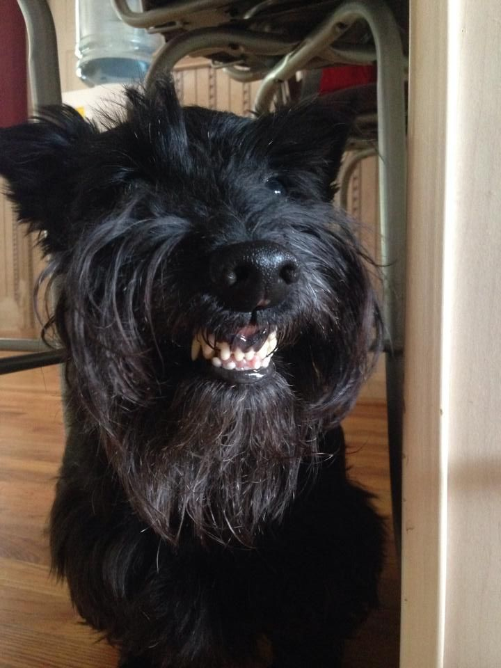 Smiling Scottie!!! (ˆ◡ˆ) (HeeHee, proudly showing off his grrreat dental care? :-) )
