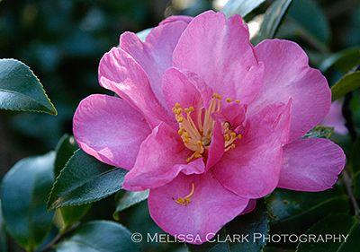 Camellia 'Kanjiro' _400w