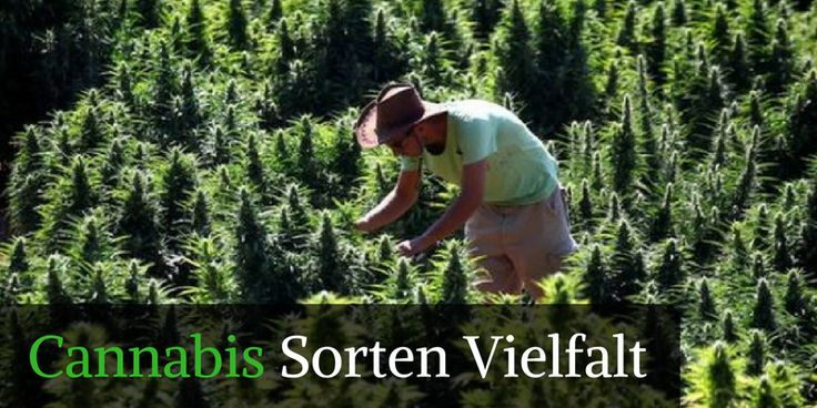 Cannabis Sorten – Marihuana Sorten http://hanfsamenkaufenlegal.com/cannabis-sorten-hanfsorten-hanfsamen-vielfalt