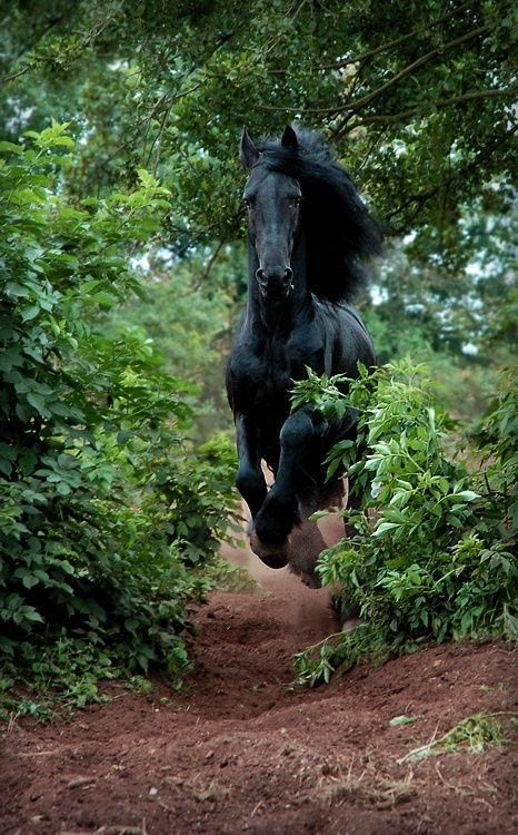 Friesian Thundering Down a Path. STUNNING!