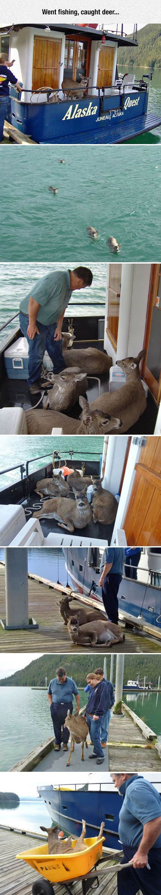 Exhausted deer rescued by Alaskan fisherman. The most exhausted deer was helped off the boat on a wheelbarrow,