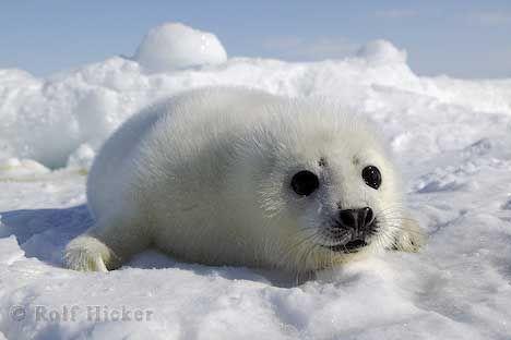 Seal!Cute Baby, Adorable Seals, Baby Animal, Adorable Baby, Little Animal, Funny Animal, Animal Funny, Animal Photos, Baby Seals