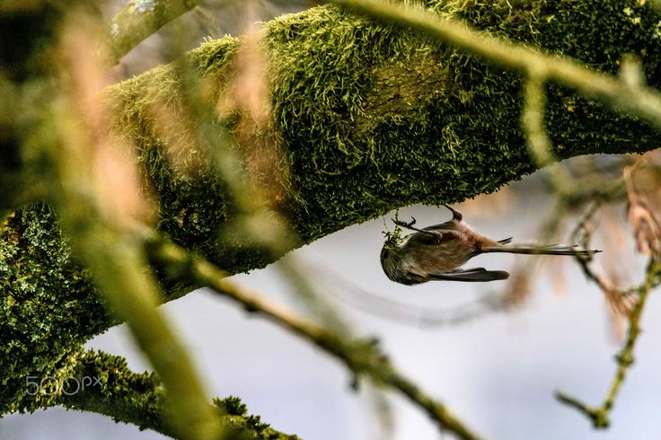 tail to make the nest - a long tailed tit collecting material to start building a nest.