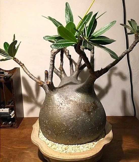 Introducing New Worlds With A Shrug: Good Stuff: Pachypodium