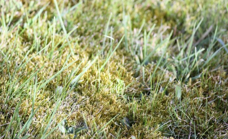 Rasenpflege: Tipps zur Moos-Bekämpfung -  Das Rasenmoos mit dem seltsamen Namen Sparriger Runzelbruder (Rhytidiadelphus squarrosus) macht Millionen Hobby-Gärtnern das Leben schwer. Die Gründe für sein Auftreten sind immer dieselben: Fehler bei der Rasenpflege oder Rasenanlage - oft aber auch beides.