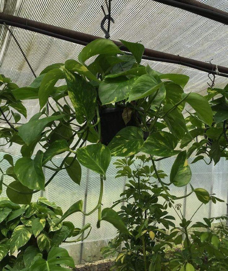 Details about Devils Ivy Money Plant Evergreen Vine Flowering Garden Patio Hangi… – Patio planting