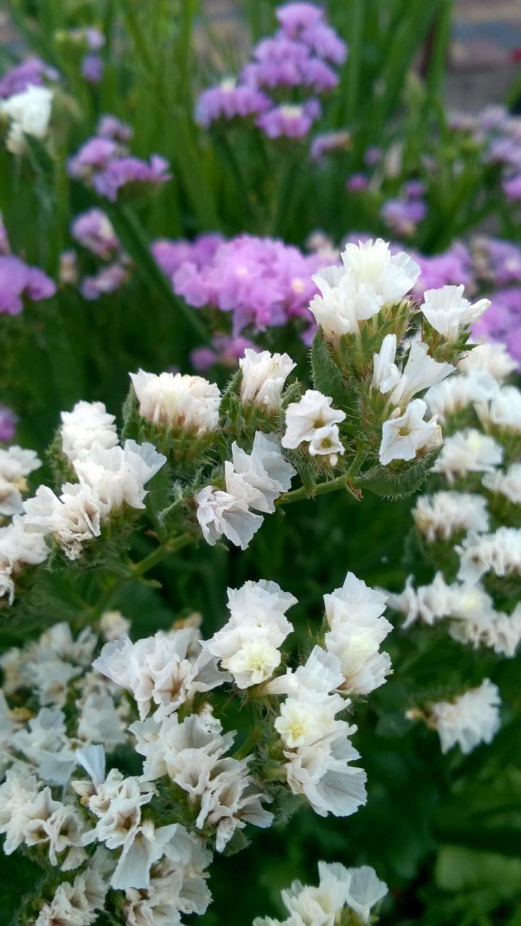 Biało- fioletowa