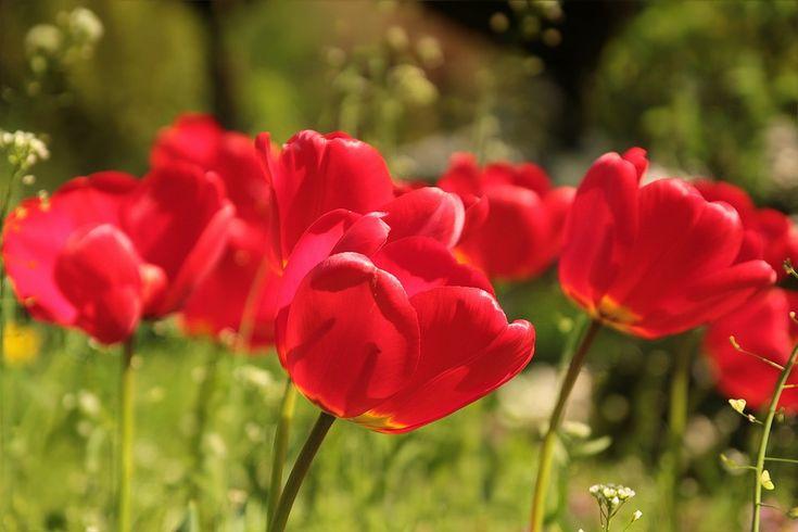 Květina, Tulipány, Červená, Pružina, Sun