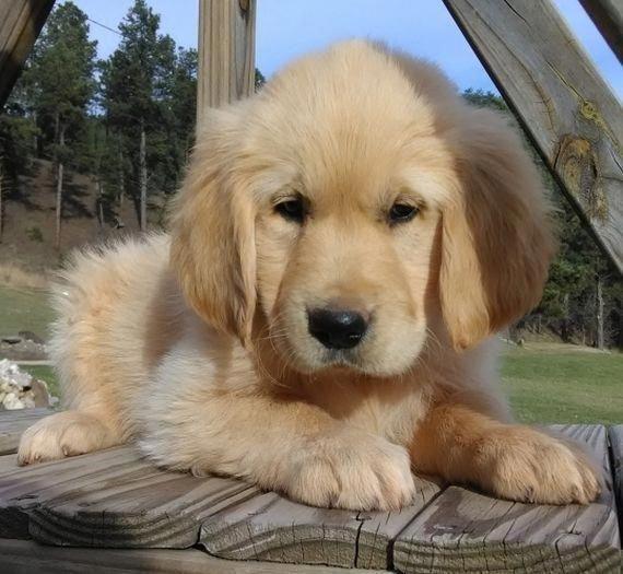 Golden Retriever Noble Loyal Companions Retriever Puppy