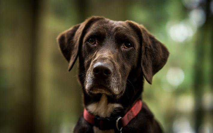 Download wallpapers 4k, chocolate labrador, muzzle, dogs, retriever, cute animals, labrador