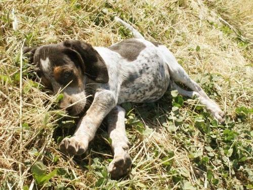 walker hound pup... my izzy is still cuter