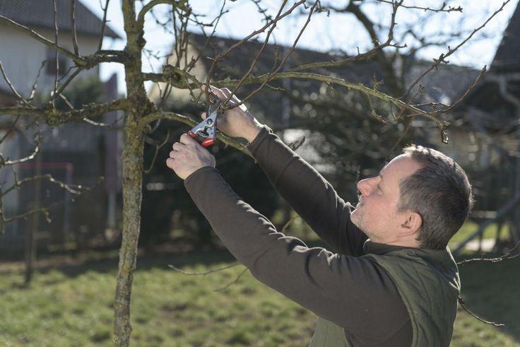 Wer Obstbäume regelmäßig beschneidet, kann mit höheren Erträgen rechnen