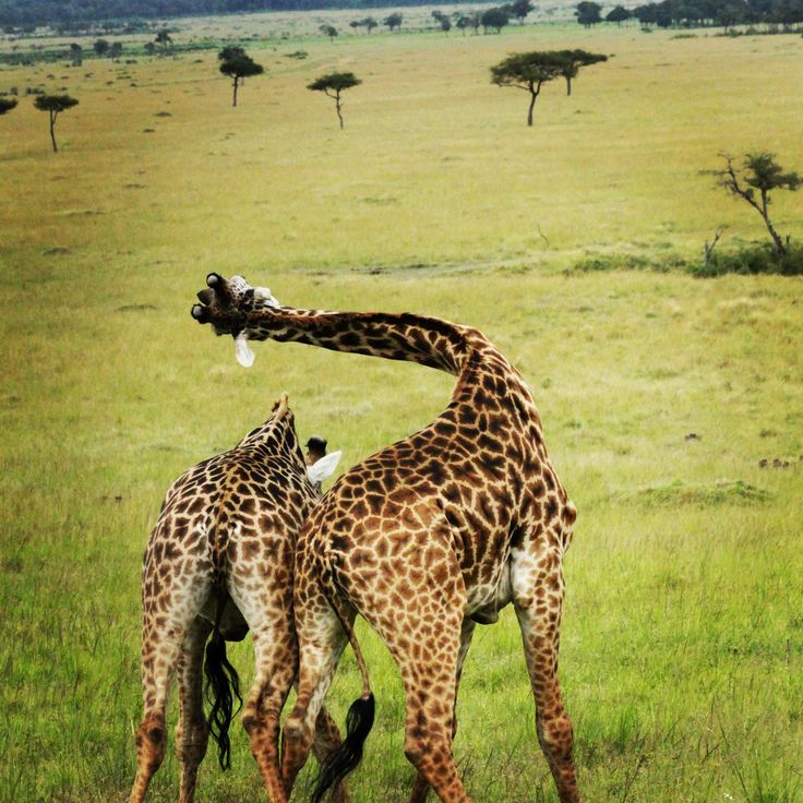 Giraffes fighting, Angama Mara, Kenya
