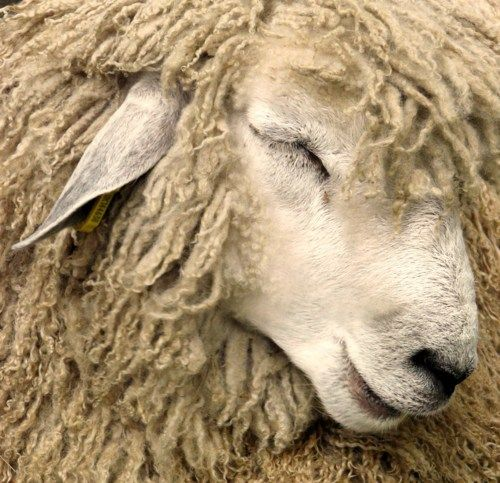 I want to do a work trade program at a sheep farm :) I would love to learn all the steps from feeding the animal to creating sweaters from its wool.... and I want it to be somewhere in New Zealand!