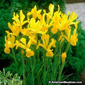 Yellow Queen is the pure yellow Dutch Iris.  Inexpensive, easy to grow, and great for cutting. (Iris hollandica)