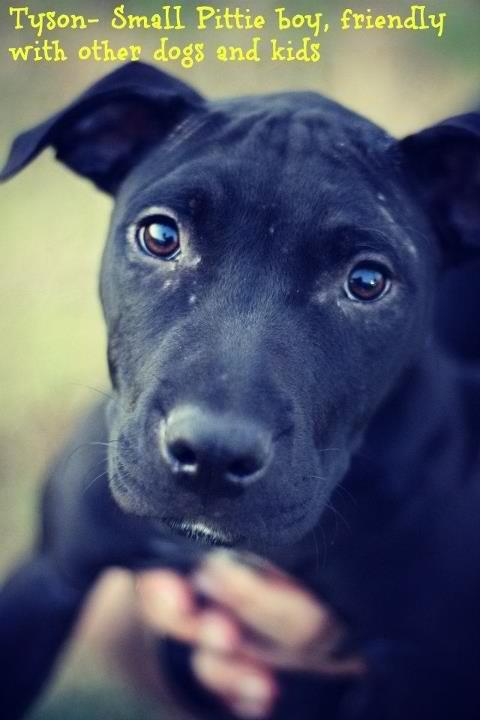 Tyson loving Black Stratford Terrier/lab mix he's 6months old current on all shots and needs a loving forever home great with kids and other dogs