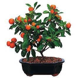 ... plum bonsai podocarpus powder puff bonsai rosemary bonsai
