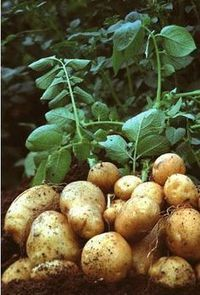 Patatas en casa 2