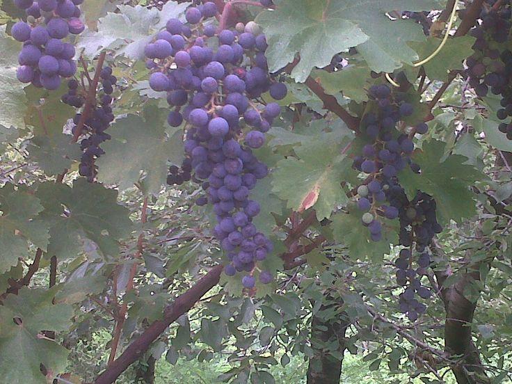 Le uve