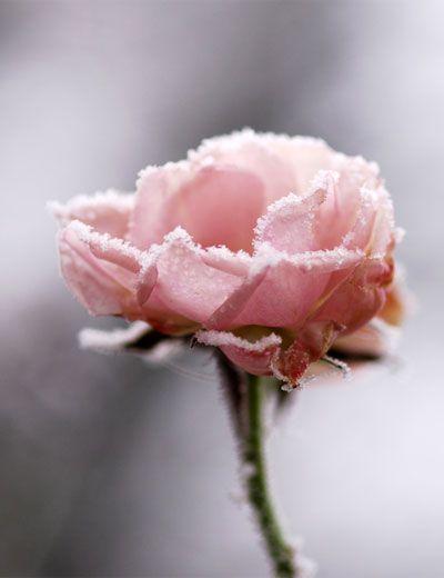 roze-roos-rijp-vorst