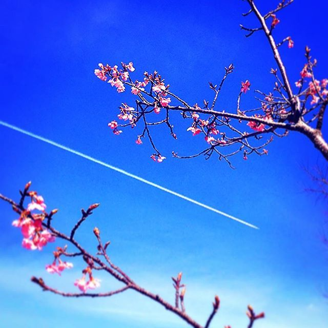 【okomepun】さんのInstagramをピンしています。 《河津桜と飛行機雲。 #河津桜 #桜#早咲き桜 #ピンク#pink #飛行機雲 #飛行機 #airplane #aerialcloud #そら #空 #青空 #sky #bluesky》