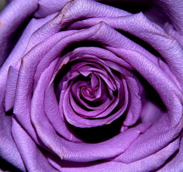 Wow!     A rose so smooth and lush it could almost be made of velvet.